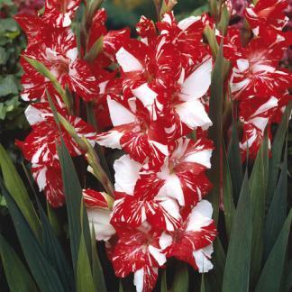 Gladiolus Zizanie kardvirág