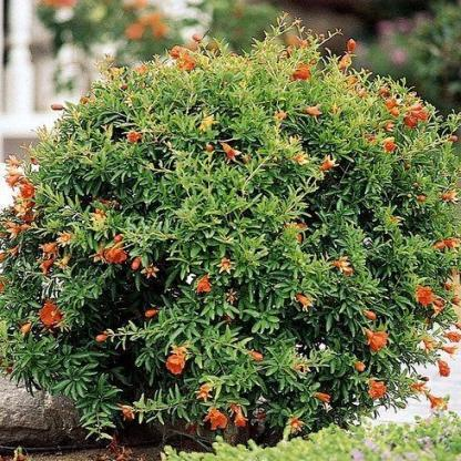 Punica granatum-nana-törpe-gránátalma