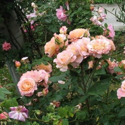 Rosa Augusta Luise romantikus rózsa bokor