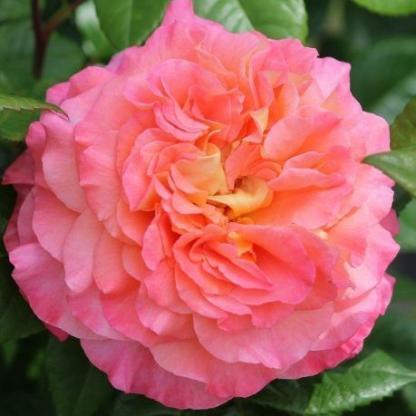 Rosa Augusta Luise romantikus rózsa