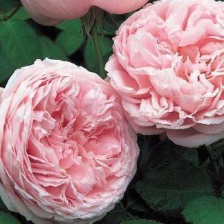 Rosa Ausbite romantikus rózsa