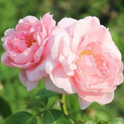Rosa Ausclub romantikus rózsa