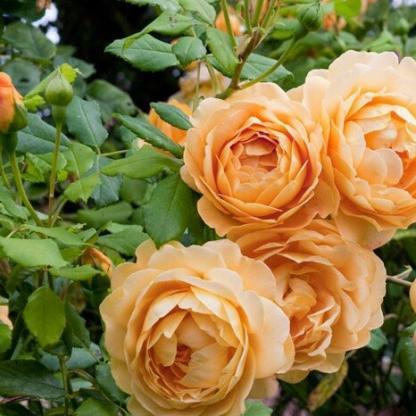 Rosa Ausgold romantikus rózsa