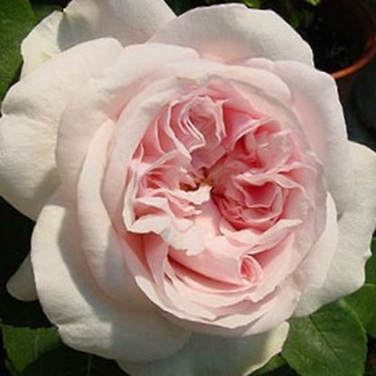 Rosa Auslight romantikus rózsa
