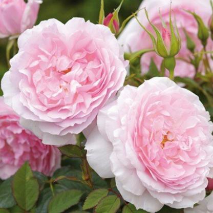 Rosa Ausorts romantikus rózsa