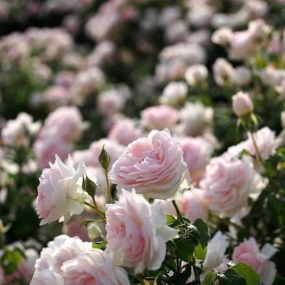 Rosa Ausreef bokor romantikus rózsa