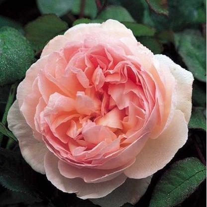 Rosa Ausreef romantikus rózsa