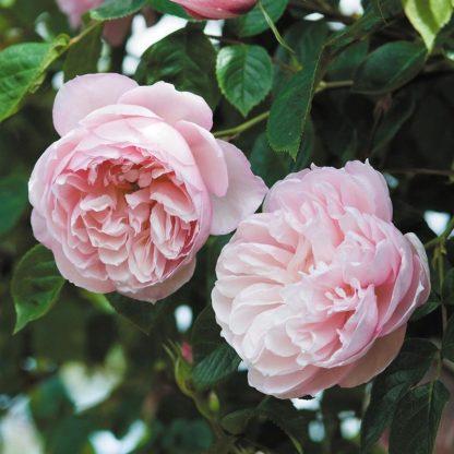 Rosa Auswith romantikus rózsa