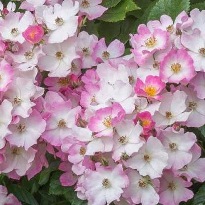 Rosa Ballerina rózsaszín parkrózsa