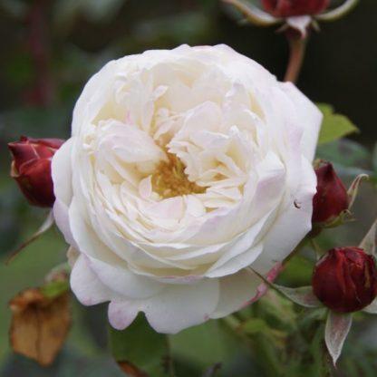 Rosa Eliane Gillet romantikus rózsa