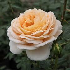 Rosa Felidae romantikus rózsa