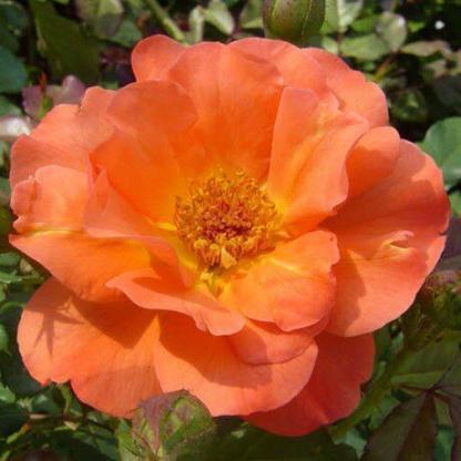 Rosa Lydia narancssárga parkrózsa