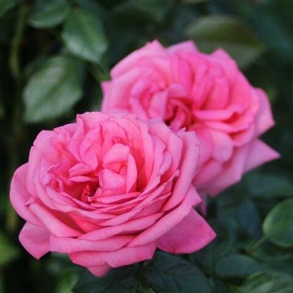 Rosa Romina romantikus rózsa