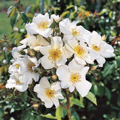 Rosa Sally Holmes fehér parkrózsa
