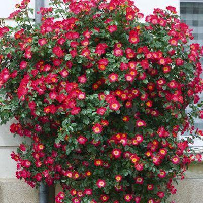 Rosa coctail vörös-sárga parkrózsa bokor