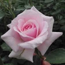 Rosa felbergs rosa druschki parkrózsa