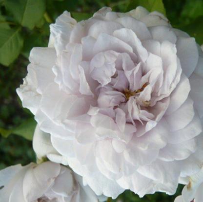 Rosa Griselis romantikus rózsa