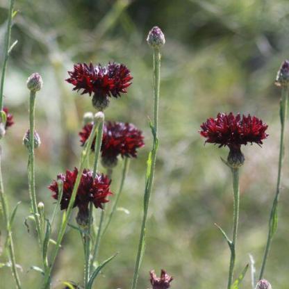 Centaurea cyanus 'Black Boy' - fekete búzavirág