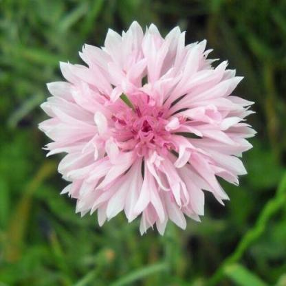 Centaurea cyanus 'Ball Pink' - rózsaszín búzavirág