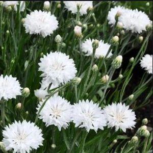 Centaurea cyanus 'Ball White' - fehér búzavirág