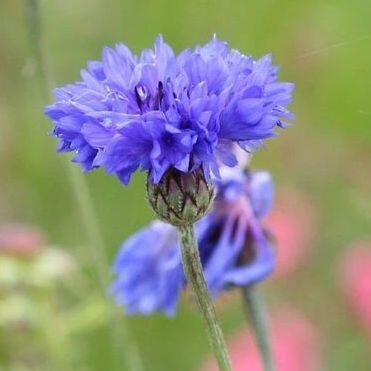 Centaurea cyanus 'Blue Boy' - kék búzavirág