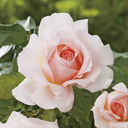 Chandos Beauty - teahibrid rózsa