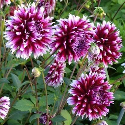 dahlia-alauna-clair-obscur lila tarka laltusz dália