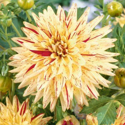 dahlia-hy-pimento sárga tarka kaktusz dália