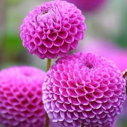 dahlia-stolzevonberlin lila labda dália
