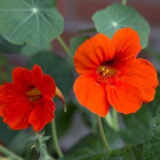 Az 'Empress of India' kerti sarkantyúka élénk, tűrpiros szirmai éles kontrasztot alkotnak a mélyzöld levelekkel