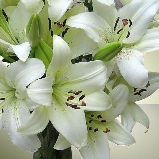 lilium asiatic white ázsiai liliom
