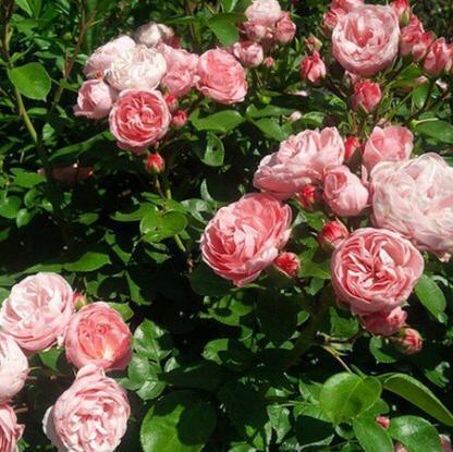 rozsa_rosa_candy_rain-romantikus-rozsa