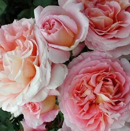 rozsa_rosa_candy_rain-romantikus-rozsa2