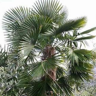 trachycarpus-bulgaria-kinai-kenderpálma