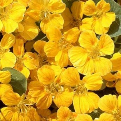 A Tropaeolum nasturtium 'Whirlybird Golden-Yellow' nagy virágú, élénk sárga színű sarkantyúka