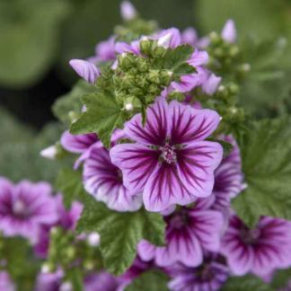 A Malva sylvestris 'Zebrina' - erdei mályva lila eres virágszirmai ehetőek!
