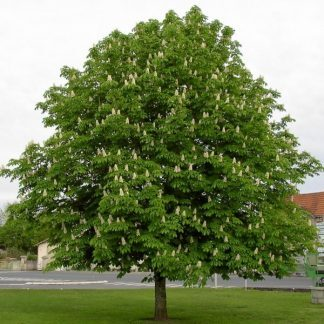 Aesculus-hippocastanum-vadgesztenye fa
