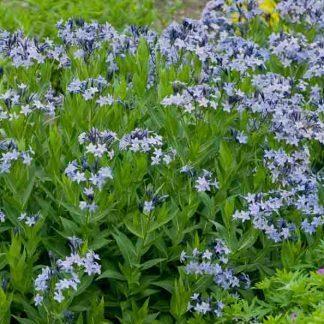 Amsonia tabernaemontana Blue Ice széleslevelű csillagmeteng