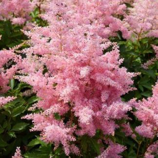 Astilbe Elizabeth Bloom tollbuga virág