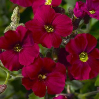 Aubrieta cultorum Axcent Burgundy Improved pázsitviola