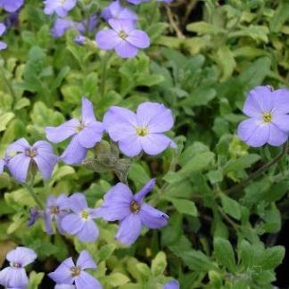 Aubrieta cultorum Axcent Light Blue pázsitviola