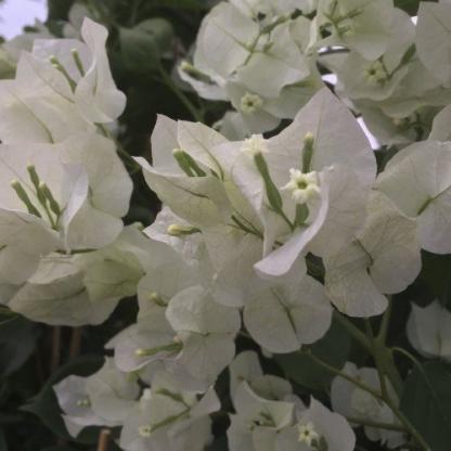Bougainvillea appleblossom 1