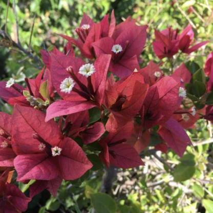Bougainvillea bois de rose 1