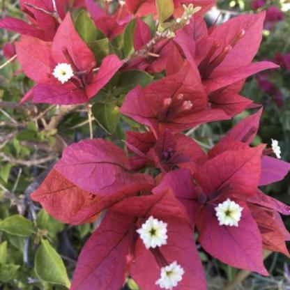 Bougainvillea bois de rose 2