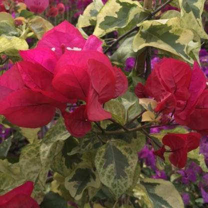 Bougainvillea red rooster
