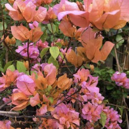 Bougainvillea rozenka