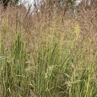 Calamagrostis acutiflora Eldorado nádtippan