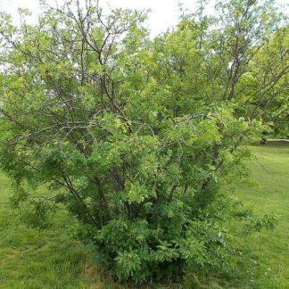 Caragana arborescens borsófa