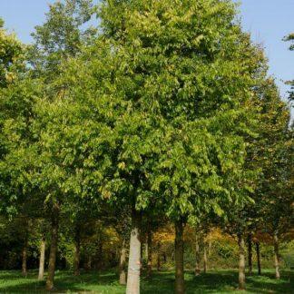Celtis occidentalis nyugati ostorfa