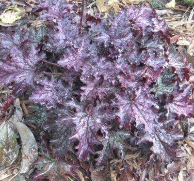 Heuchera Blackberry Crisp tűzgyöngyvirág ősz